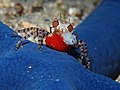 Mosaic Boxer crab (Lybia tessellata) with eggs and only one boxing glove. (16057998770).jpg