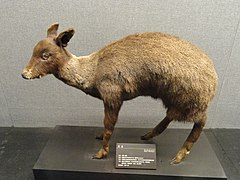 Moschus fuscus - Kunming Natural History Museum of Zoology - DSC02455.JPG