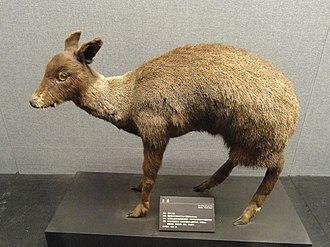 Black musk deer - Image: Moschus fuscus Kunming Natural History Museum of Zoology DSC02455