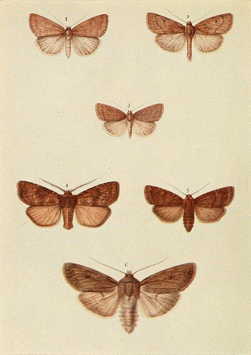 Moths of the British Isles Plate153.jpg