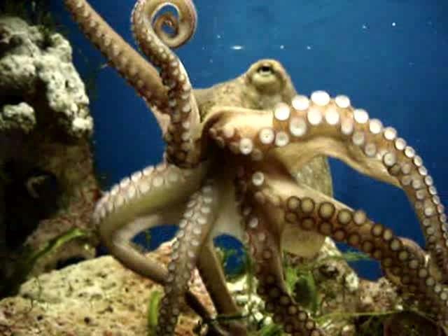 Giftiger Oktopus