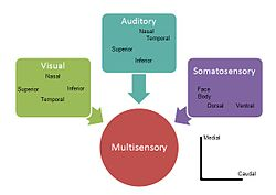 Example of how visual, auditory and somatosensory information merge into multisensory integration representation in the superior colliculus