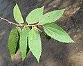 Muntingia calabura - Jamaica Cherry at Nedumpoil (10).jpg