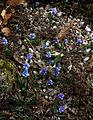 Muscari azureum - Flickr - peganum.jpg