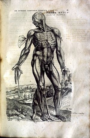 History of anatomy - Image of muscular anatomy from De humani corporis fabrica by Andreas Vesalius, 1543