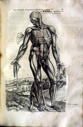 History of anatomy - Image of muscular anatomy from De humani corporis fabrica by Andreas Vesalius, 1543