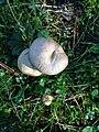 Mushroom of parnis 03.jpg