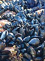 Mussels and Barnacles - geograph.org.uk - 464783.jpg