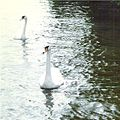 Mute Swans on River Bure - geograph.org.uk - 449553.jpg
