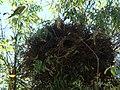 Myiopsitta monachus -nest -Brazil-8b.jpg