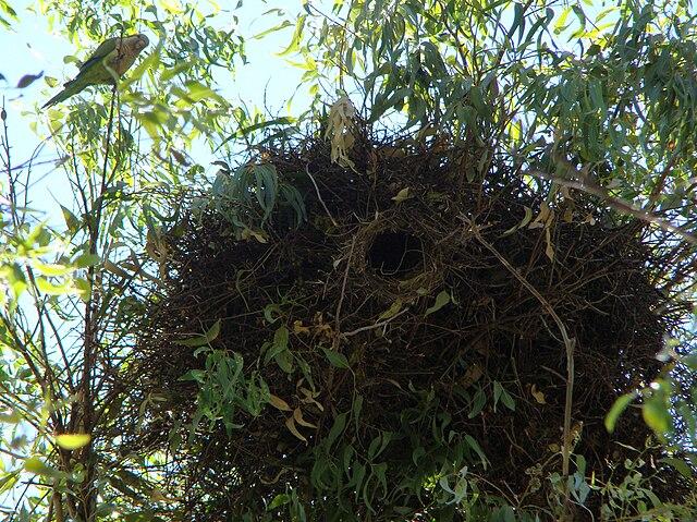 https://upload.wikimedia.org/wikipedia/commons/thumb/f/f4/Myiopsitta_monachus_-nest_-Brazil-8b.jpg/640px-Myiopsitta_monachus_-nest_-Brazil-8b.jpg?uselang=cs