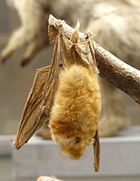 Myotis bocagii - Swedish Museum of Natural History - Stockholm, Sweden - DSC00661.JPG
