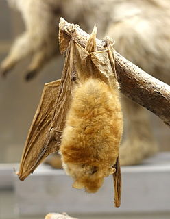 Rufous mouse-eared bat species of mammal