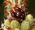 Myzia oblongoguttata (Striped Ladybird)2.jpg
