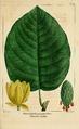 NAS-054 Magnolia acuminata var subcordata.png