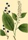 NAS-088g Prunus virginiana.png