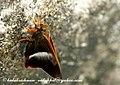 NE He Orangetail Awlet 2008 11 06 namdapha (3052172380).jpg