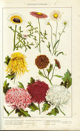 Chrysanthemum - Historical painting of chrysanthemums from the New International Encyclopedia, 1902