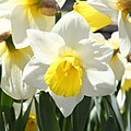 Narciso (Narcissus pseudonarcissus), Jardín Botánico, Múnich, Alemania 2012-04-21, DD 01.JPG
