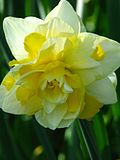 Narcissus double cv.03.jpg
