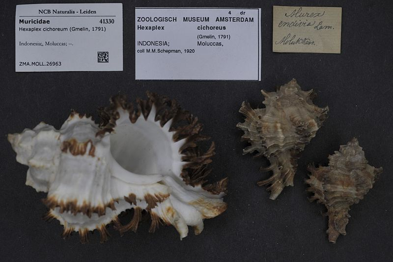 File:Naturalis Biodiversity Center - ZMA.MOLL.26963 - Hexaplex cichoreum (Gmelin, 1791) - Muricidae - Mollusc shell.jpeg