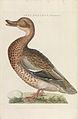 Nederlandsche vogelen (KB) - Anas platyrhynchos (voor217).jpg