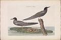 Nederlandsche vogelen (KB) - Chlidonias niger (130b).jpg