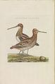 Nederlandsche vogelen (KB) - Gallinago media (247pl).jpg