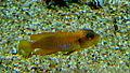 Neolamprologus ocellatus gold - Aqua Porte doree 07.JPG