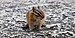 Neotamias minimus on Stawamus Chief (DSCF7729).jpg