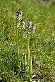 Neotinea ustulata (habitus).jpg