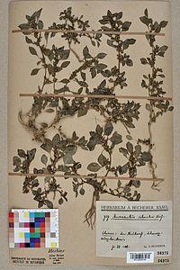 Neuchâtel Herbarium - Amaranthus graecizans - NEU000004184.jpg