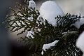 Neve em folhas de Chamaecyparis pisifera 01.jpg