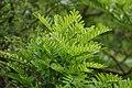 New Zealand, Great Walk Lake Waikaremoana (9) - Clianthus maximus.JPG