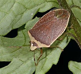 Nezara viridula f. torquata (brown winter forme), with, on the head, Egg of Trichopoda pennipes.