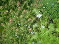 Nigella damascena 0.6 R.jpg