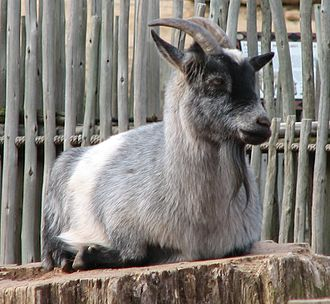 The Livestock Conservancy - A Nigerian Dwarf goat, one of the animals kept by the Oklahoma City Zoo and considered at recovering status