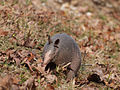 Nine-banded armadillo - James Hawkins.jpg