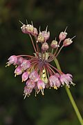 Nodding Wild Onion - Allium cernuum, Big Meadows, Shenandoah National Park, Virginia.jpg