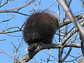 North American Porcupine, Ottawa.jpg