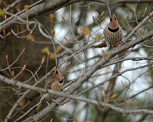 Northern flicker - Two males in a territorial display during spring