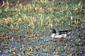 Northern Pintail (Anas acuta) (19599760223).jpg
