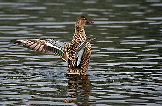 Northern shoveler - Female stretching after bathing in Kolkata