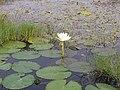 Nymphaea caerulea 01.jpg