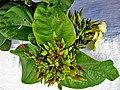 Odontadenia lutea (Vell.) Markgr. (1356836912).jpg