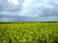 Oil seed rape - geograph.org.uk - 228464.jpg