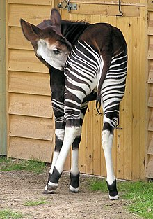 Okapi - Wikipedia, the free encyclopedia