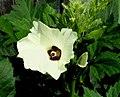 Okra -- Abelmoschus esculentus.jpg