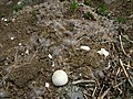 Old Canada goose nest (Campement d'Ours I).JPG