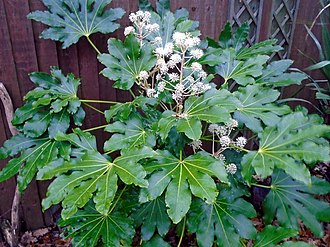 Fatsia - Fatsia japonica in flower